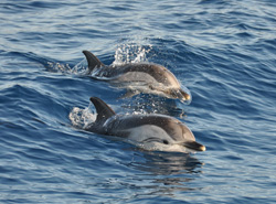 Observation of dolphins in France