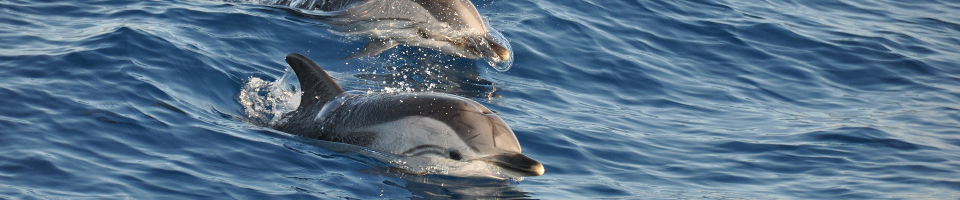 Swim with dolphins in the Mediterranean sea